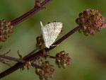 Perizoma albulata (Klappertopf-Kapselspanner) / CH BE Hasliberg 1300 m, 29. 05. 2014