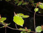 Fagus sylvatica (Buche) / Fagaceae