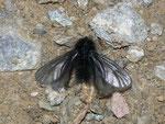 Ptilocephala plumifera (Fächerfühler-Sackträger) / CH VS Gampel-Jeizinen 703 m, Felsensteppe, 31. 01. 2011