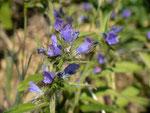 Echium vulgare (Natternkopf) / Boraginaceae