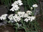 Alchemilla millefolium (Schafgarbe) / Asteraceae