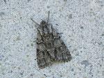 Acronicta auricoma (Goldhaar-Rindeneule) / CH UR Urserental, Realp 1530 m, 29. 06. 2012