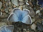 Polyommatus coridon (Silbergrüner Bläuling, Männchen) / CH VS Val d'Anniviers, Lac de Moiry 2250 m, 23. 08. 2013