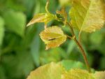Cerura vinula (Grosser Gabelschwanz) / CH BE Hasliberg 1060 m, 23. 06. 2015