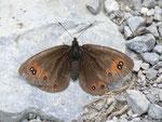 Erebia meolans (Gelbbindiger Mohrenfalter) / CH VS Col de Verne 1590 m, 09. 07. 2012