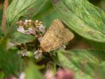 Hoplodrina octogenaria (Gelbbraune Staubeule) / CH BE Hasliberg 1050 m, 08. 09. 2014