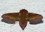 Deilephila porcellus (Kleiner Weinschwärmer) / CH VS Goppenstein Bhf. 1216 m, 15. 06. 2011