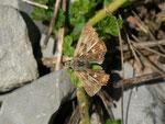 Carcharodus alceae (Malven-Dickkopffalter, Eiablage) / CH BE Hasliberg 1060 m, 02. 08. 2015