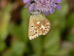 Polyommatus coridon (Silbergrüner Bläuling, Weibchen) / CH BE Hasliberg 1100 m, 16. 08. 2014