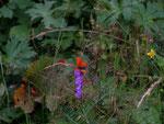Lycaena hippothoe eurydame (Kleiner Ampferfeuerfalter, Männchen) / CH VS Fionnay, 17. 07. 2006