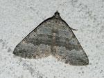 Scotopteryx bipunctaria (Zweipunkt-Wellenstriemenspanner) CH VS Goppenstein Bahnhofunterführung 1216 m, 31. 08. 2011