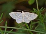 Asthena albulata (Ungepunkteter Zierspanner) / CH BE Hasliberg 1150 m, 23. 07. 2012
