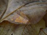 Tiliacea aurago (Rotbuchen-Gelbeule) / CH BE Hasliberg 1050 m, 10. 10. 2015