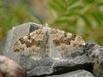 Xanthorhoe montanata (Schwarzbraunbinden-Blattspanner) / CH BE Hasliberg 1100 m, 28. 06. 2013