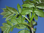 Fraxinus excelsior (Gew. Esche) / Oleaceae