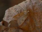 Agrochola circellaris (Rötlichgelbe Herbsteule) / CH BE Hasliberg 1050 m, 07. 11. 2015
