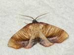 Plagodis dolabraria (Hobelspanner) / CH BE Hasliberg 1050 m, 08. 06. 2013