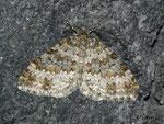 Entephria flavicinctata (Steinbrech-Gebirgs-Blattspanner) / CH VS Val de Bagnes, Lac Mauvoisin 1975 m, 15. 09. 2011
