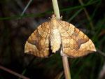 Eulithis populata (Veränderlicher Haarbüschelspanner) / CH BE Wilerhorn 1900 m,  18. 08. 2008