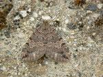 Hydriomena furcata (Heidelbeer-Palpenspanner) / CH VS Val d'Anniviers, Lac de Moiry 2250 m, 23. 08. 2013