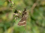Malacosoma alpicola (Alpiner Ringelspinner, Männchen) / CH OW Kerns Ächerlipass Heitletswald 1540 m, 18. 08. 2014