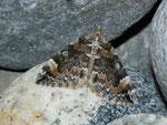 Chloroclysta citrata (Buschahlden-Blattspanner) / CH BE Hasliberg 1240 m, 02. 09. 2013
