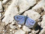 Maculinea arion (Schwarzgefleckter Bläuling, Männchen) / CH FR Gros Mont 1400 m, 05. 07. 2013