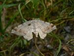 Macaria liturata (Violettgrauer Eckflügelspanner) / CH BE Hasliberg 1050 m, 19. 06. 2013