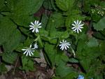 Cerastium fontanum (Grossfrüchtiges Hornkraut) / Caryophyllaceae