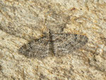 Gymnoscelis rufifasciata (Rotgebänderter Blütenspanner) / CH BE Hasliberg 1050 m, 10. 06. 2018