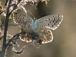 Polyommatus bellargus (Himmelblauer Bläuling, Weibchen) / CH BE Hasliberg 1150 m, 15. 09. 2014