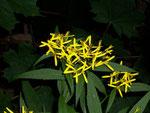 Senecio fuchsii (Fuch's-Kreuzkraut) / Asteraceae