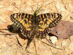 Zerynthia rumina (mit offenen Flügeln ein Weibchen Zerynthia rumina canteneri) / E Andalusien, Sierra de Segura, Embalse del Tranco, Cortijo de los Archites 1100 m, 23. 04. 2012