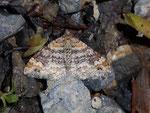 Xanthorhoe spadicearia (Heller Rostfarben-Blattspanner) / CH BE Hasliberg 1300 m, 08. 06. 2010
