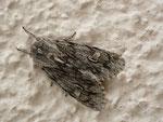 Brachionycha nubeculosa (Frühlings-Rauhhaareule) / CH BE Hasliberg 1240 m, 11. 04. 2015