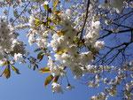 Prunus avium (Süsskirsche) / Rosaceae
