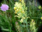 Rhinanthus minor (Klappertopf) / OROBANCHACEAE