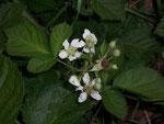 Rubuas fruticosus (Brombeere) / Rosaceae