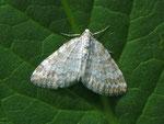 Perizoma albulata (Klappertopf-Kapselspanner) / CH VS Col de Verne 1590 m, 09. 07. 2012