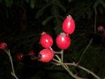 Rosa canina (Hundsrose) / Rosaceae