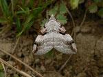 Aplocera praeformata (Johanniskrautspanner) / CH BE Hasliberg 1100 m, 25. 05. 2014