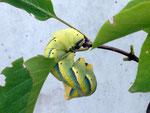 Acherontia atropos (Totenkopfschwärmer) / CH LU Buholz, 25. 07. 2019, an Flieder (Foto @ Anna Müller)