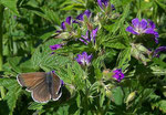 Aricia eumedon (Storchschnabel-Bläuling) / CH BE Hasliberg 1900 m, 26. 06. 2005