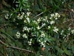 Galium album (Gemeines Labkraut) / Rubiaceae