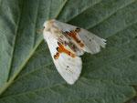 Leucodonta bicoloria (Weisser Zahnspinner, Totfund unter Strassenlaterne) / CH BE Hasliberg 1050 m, 06. 06. 2015