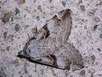 Aplocera praeformata (Johanniskrautspanner) / CH BE Hasliberg 1200 m, 22. 08. 2009