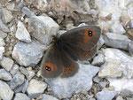 Erebia meolans (Gelbbindiger Mohrenfalter) / CH VS Col de Verne 1510 m, 09. 07. 2012