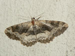 Alcis repandata (Braunmarmorierter Baumspanner, Weibchen) / CH BE Hasliberg 1050 m 17. 07. 2013,