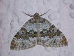 Entephria infidaria (Winkelzahl-Gebirgs-Blattspanner) / CH BE Hasliberg 1240 m, 30. 06. 2008