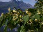 Tilia cordata (Linde) / Tiliaceae